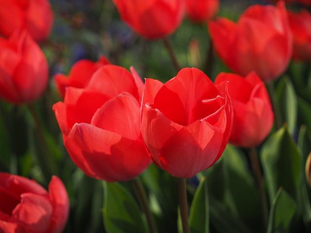 červené tulipány